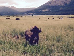 glacier bison